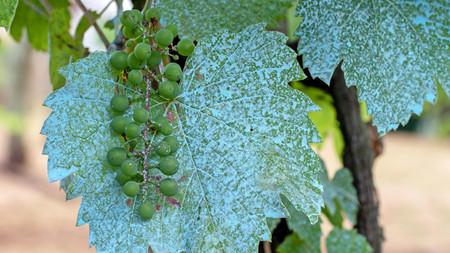 硫酸铜对葡萄园真的安全吗?